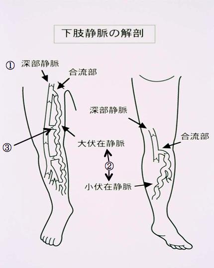下肢静脈の解剖